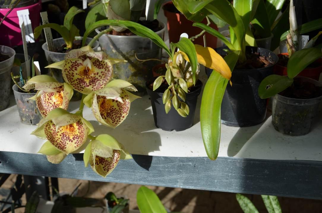 catasetum orchidglade 'Davie Ranches' (mise à jour 2016) 16020711355015993613954218