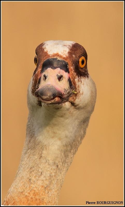Ouette d'Egypte (Alopochen aegyptiaca) par Pierre BOURGUIGNON, photographe animalier, Belgique