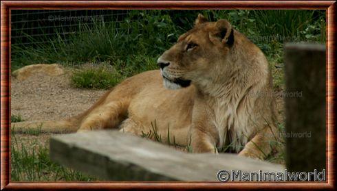 Lionne au zoo d'Amnéville