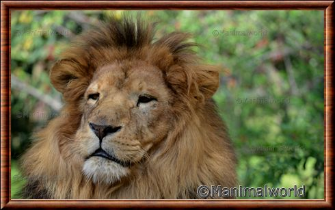 Gros plan du lion d'Afrique