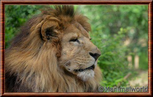 Portrait du lion d'Afrique
