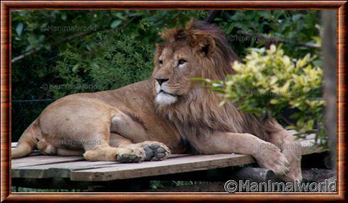 Lion d'Afrique au zoo d'Amnéville