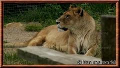 Lion d'Afrique - lionafrique4
