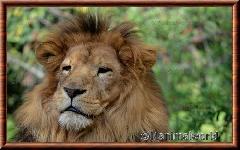 Lion d'Afrique - lionafrique6