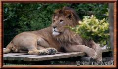 Lion d'Afrique - lionafrique8
