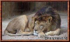 Lion d'Afrique - lionafrique9