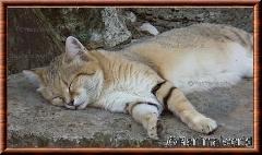 Chat des sables - chatdessables1