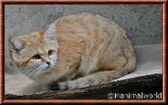Chat des sables - chatdessables2