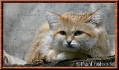 Chat des sables - chatdessables4