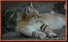 Chat des sables - chatdessables6