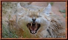 Chat des sables - chatdessables7