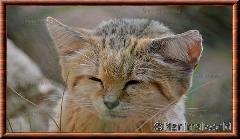 Chat des sables - chatdessables8