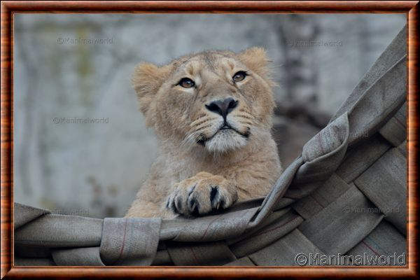 Lion d'Asie - lionasie22