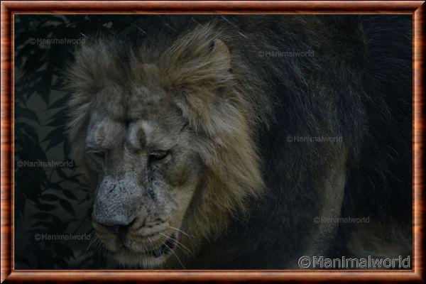 Lion d'Asie 07