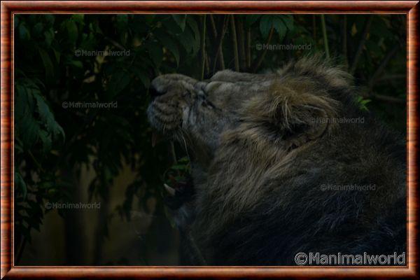 Lion d'Asie - lionasie8