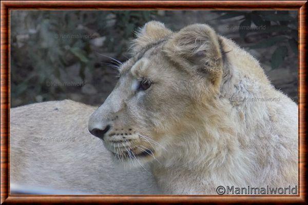 Lion d'Asie 09