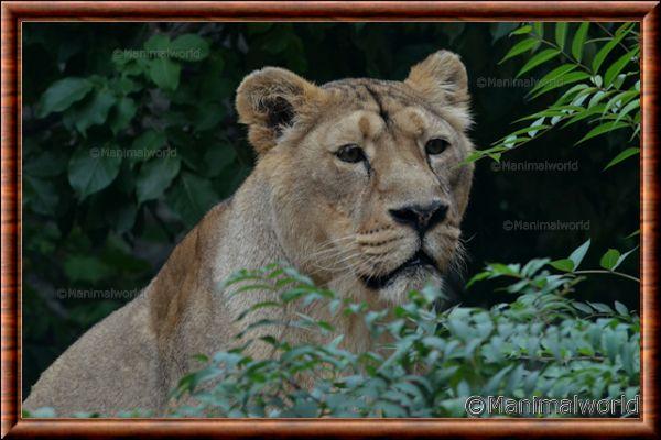 Lion d'Asie - lionasie11