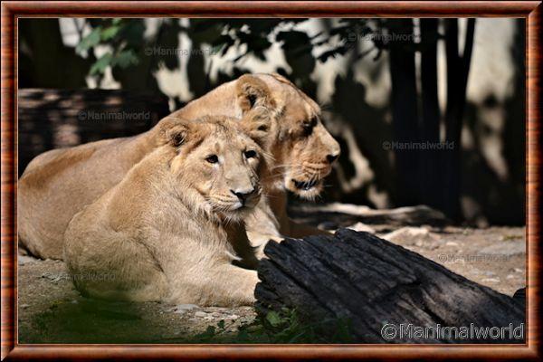 Lion d'Asie 13