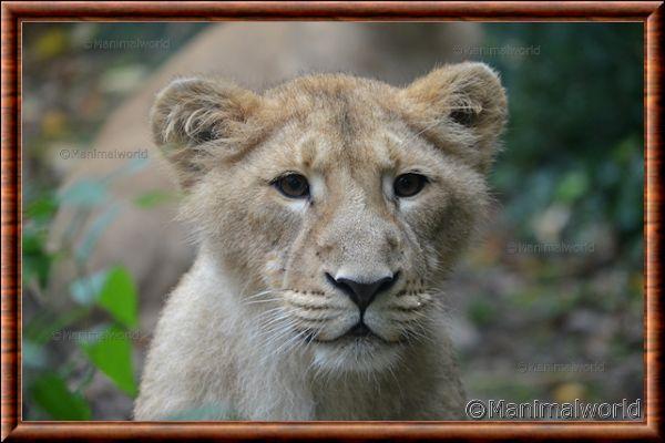 Lion d'Asie - lionasie14