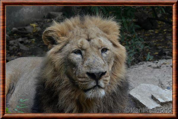 Lion d'Asie - lionasie18