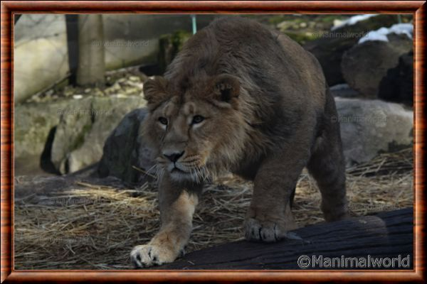 Lion d'Asie - lionasie20