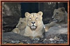 Lion d'Asie - lionasie10