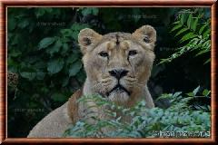 Lion d'Asie - lionasie12