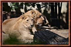 Lion d'Asie - lionasie13