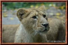Lion d'Asie - lionasie15