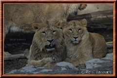 Lion d'Asie - lionasie21
