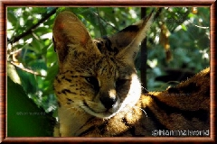 Serval - serval6