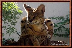 Serval - serval7