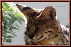 Serval - serval8