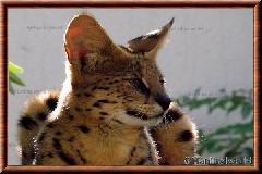 Serval - serval9