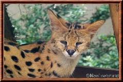 Serval - serval11