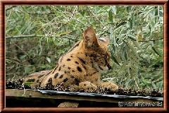 Serval - serval12