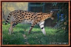 Serval - serval16