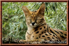 Serval - serval15