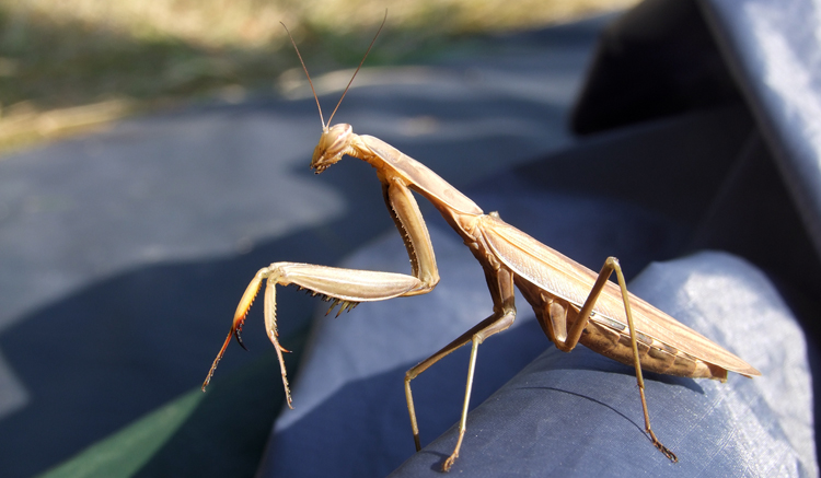 DSCF6541 Mantis religiosa femelle