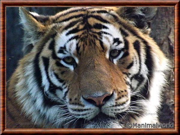 Tigre de Sibérie 07
