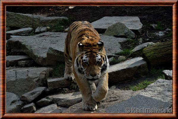 Tigre de Sibérie - tigredesiberie8