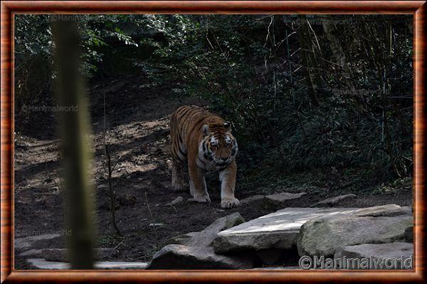 Tigre de Sibérie - tigredesiberie9