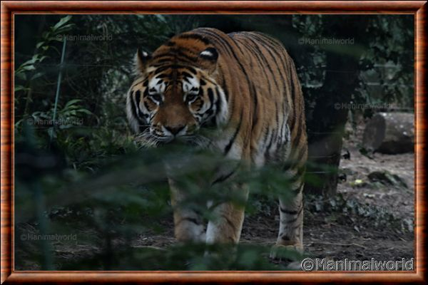 Tigre de Sibérie - tigredesiberie11