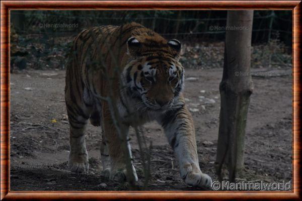 Tigre de Sibérie 12