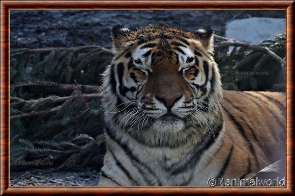 Tigre de Sibérie 14