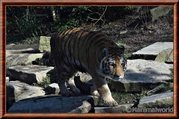 Tigre de Sibérie - tigredesiberie15