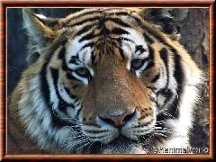 Tigre de Sibérie - tigredesiberie7