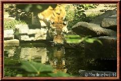 Tigre de Sibérie - tigredesiberie10
