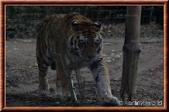 Tigre de Sibérie - tigredesiberie12