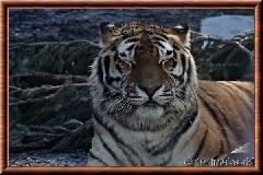 Tigre de Sibérie - tigredesiberie14